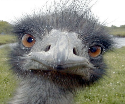 An emu, the official mascot of The Mep Report.  The podcast relaunched this week after over 3 years without an episode.