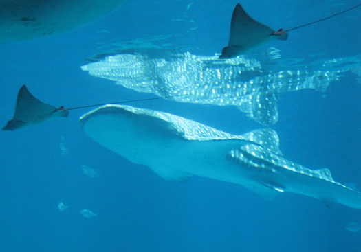 Whale shark in the Georgia Aquarium, reflected in the top of its tank to show the spots.