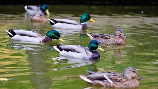 DucksOnAPond